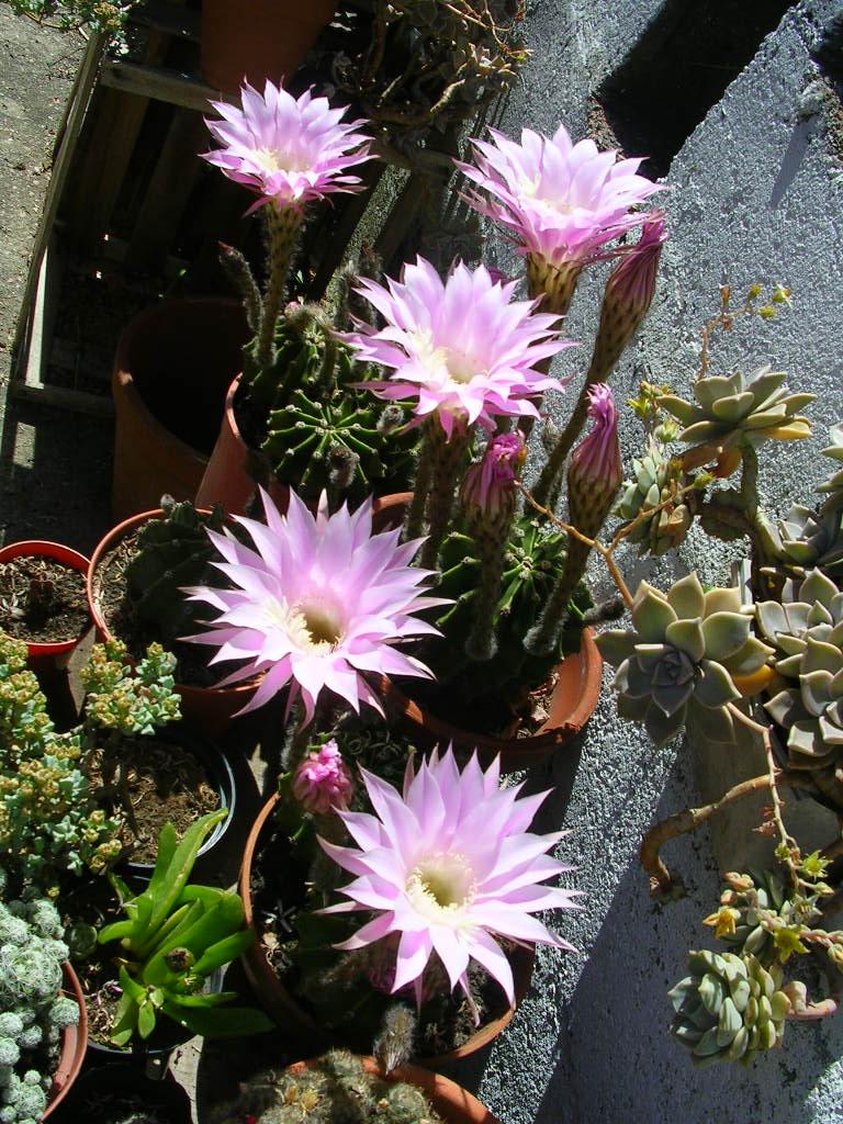 Terra nostra ombligo de la reina echinopsis eyriesii for Nombres de cactus