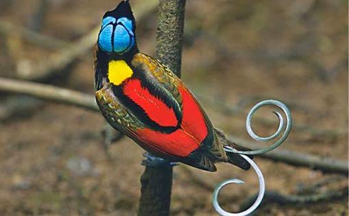A foto tirada de cima para baixo mostra um pássaro de pequeno porte pousado  em um galho vertical com a cabeça voltada à direita, paralela ao galho. A  plumagem é densa e vibrante; vermelho nas costas e laterais inferiores, as  superiores são rajadas em laranja, verde e preto; atrás do pescoço, um manto  amarelo; a cabeça é azul reluzente com delineio preto em forma de cruz dupla,  e remete a uma coroa, parte da cara e bico pretos; o ornamento da cauda  prateada tem aspecto metalizado como alças de tesouras; as garras são  azuladas.