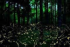 Amazing Synchronous Fireflies