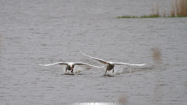 Knbbelzwaan jaagt rivaal weg - Mute Swans chasing rival