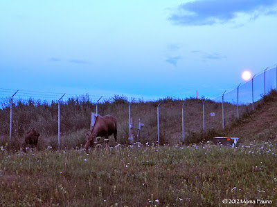 Mama & baby Moose under the Moon. Last night, Point Woronzof.