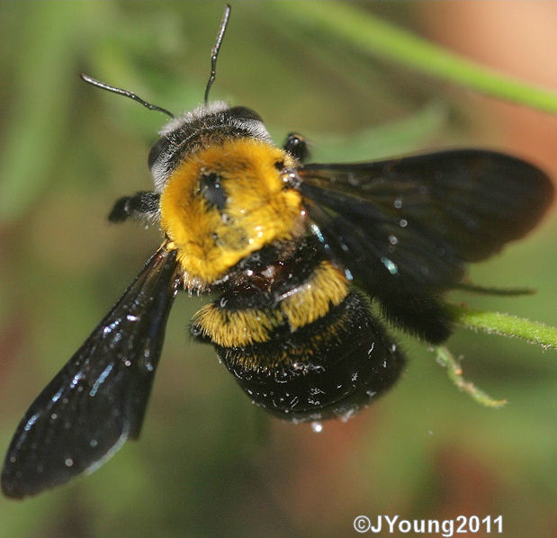 how to stop wood bees