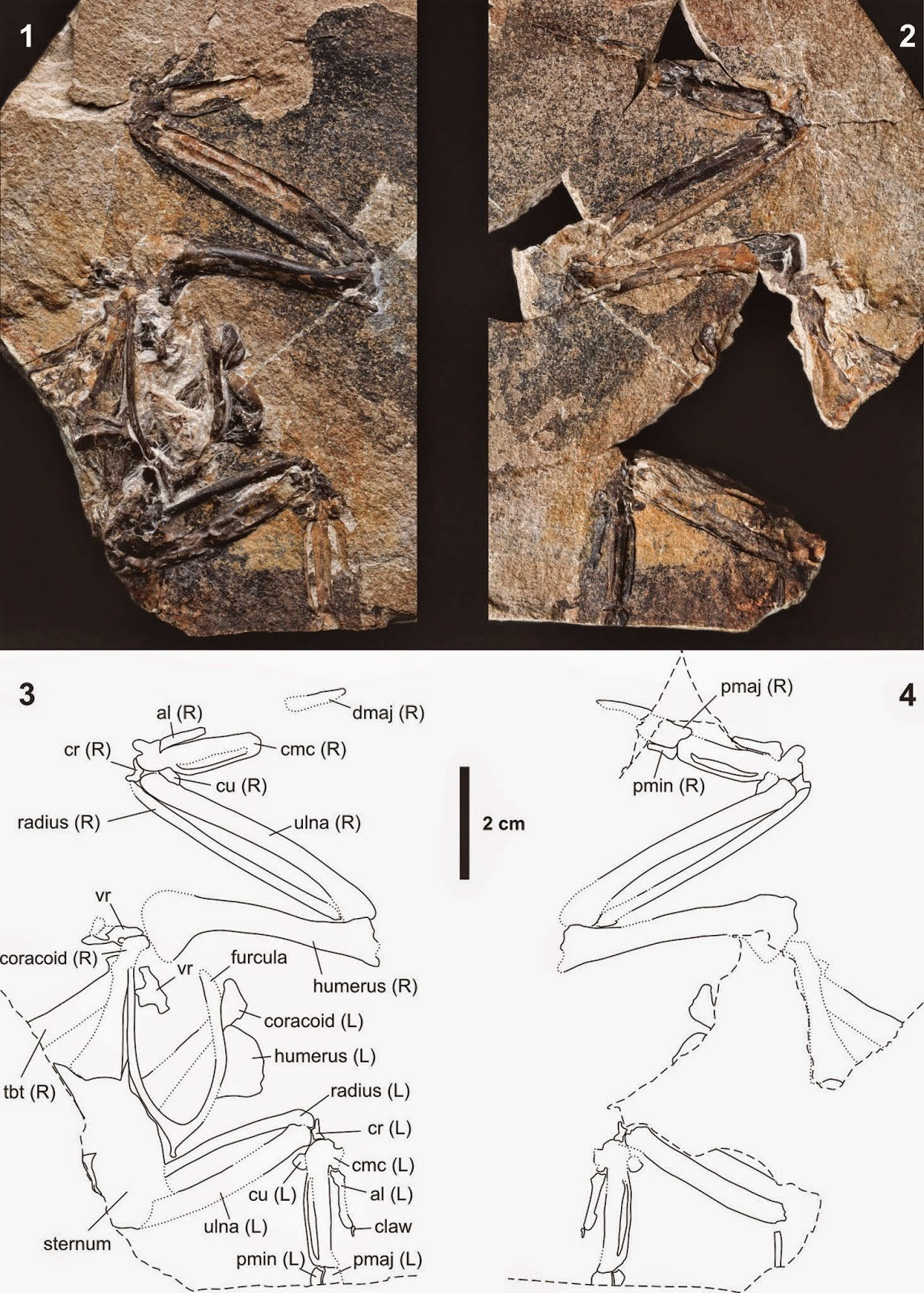 http://sciencythoughts.blogspot.co.uk/2014/11/a-galliform-bird-from-oligocene-of.html