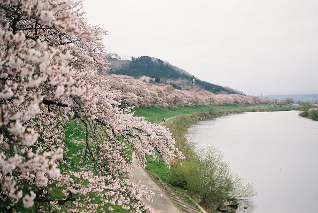 一目千本桜と白石川 sakura and shiroishi river