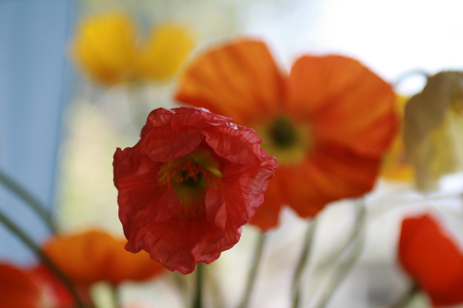 Temptress Poppies In The House Floret Flowers