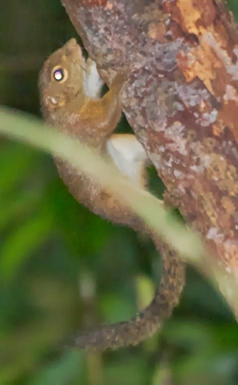 Slender Squirrel (Sundasciurus tenuis)