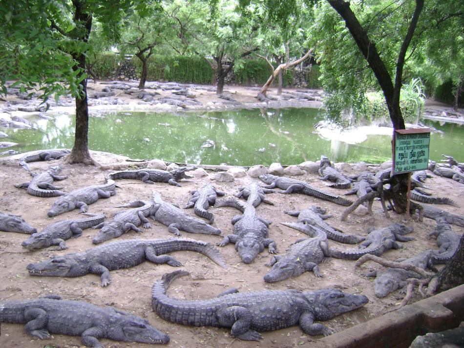 project crocodile in india pdf