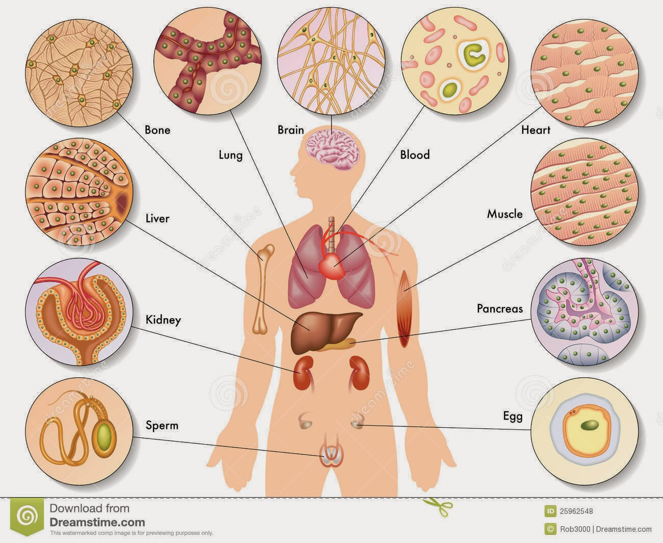 The Various Cells Of The Human Body