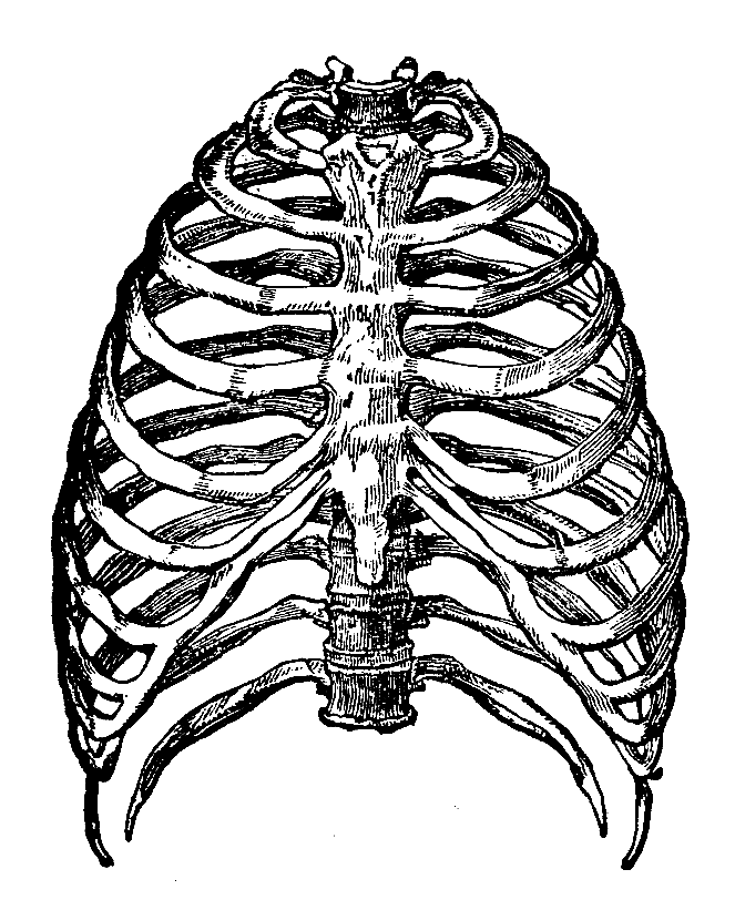 Rib Cage Line Drawing of The Human Rib Cage