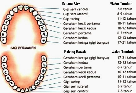 Bagian Organ-Organ Pencernaan dan Fungsinya