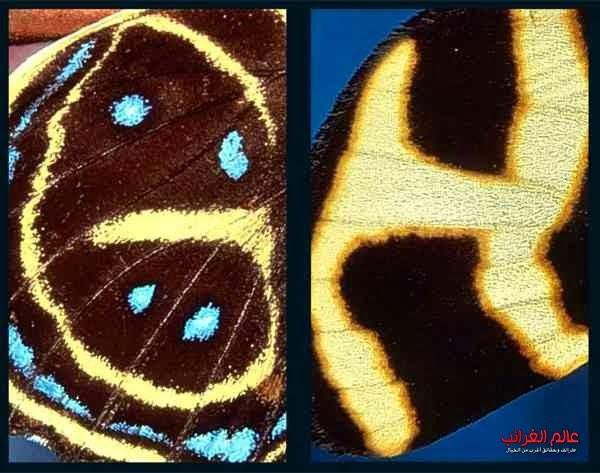 الفراشة الأبجدية، الغرائب