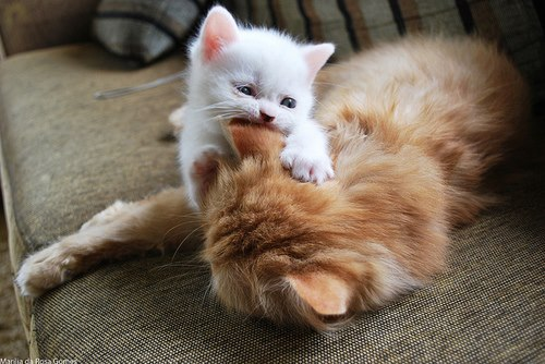 White kitten playing with brown mother dog image