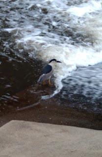Black crowned night heron New Jersey