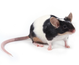 gambar tikus