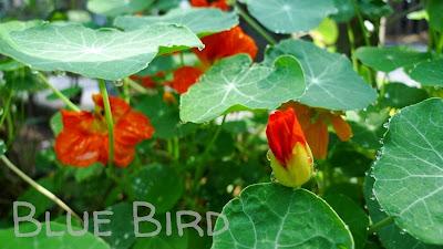 Garten im September - Kapuzinerkresse