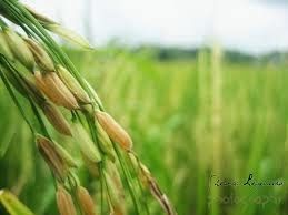 padi yang telah menguning semakin merunduk