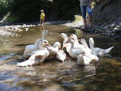 Jak radzić sobie z upałem, pławienie koni, pławienie kaczek i gęsi, Orawa, Lipnica Wielka, Babia Góra, co robić w upalny dzień