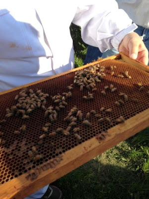 bees need real pollinator-friendly plants