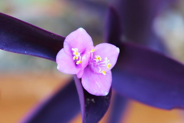 fiorellino lilla