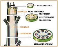jaringan penyusun tumbuhan selain jaringan epidermis Pengertian Jaringan Meristem, Fungsi, dan Ciri-Cirinya