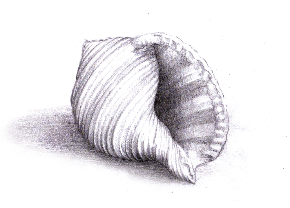 Magellin . Blog: Seashell sketch