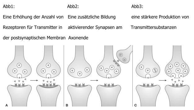 Verhalten und Neurobiologie: Lernen durch Bahnung (Synapse, räumlich ...