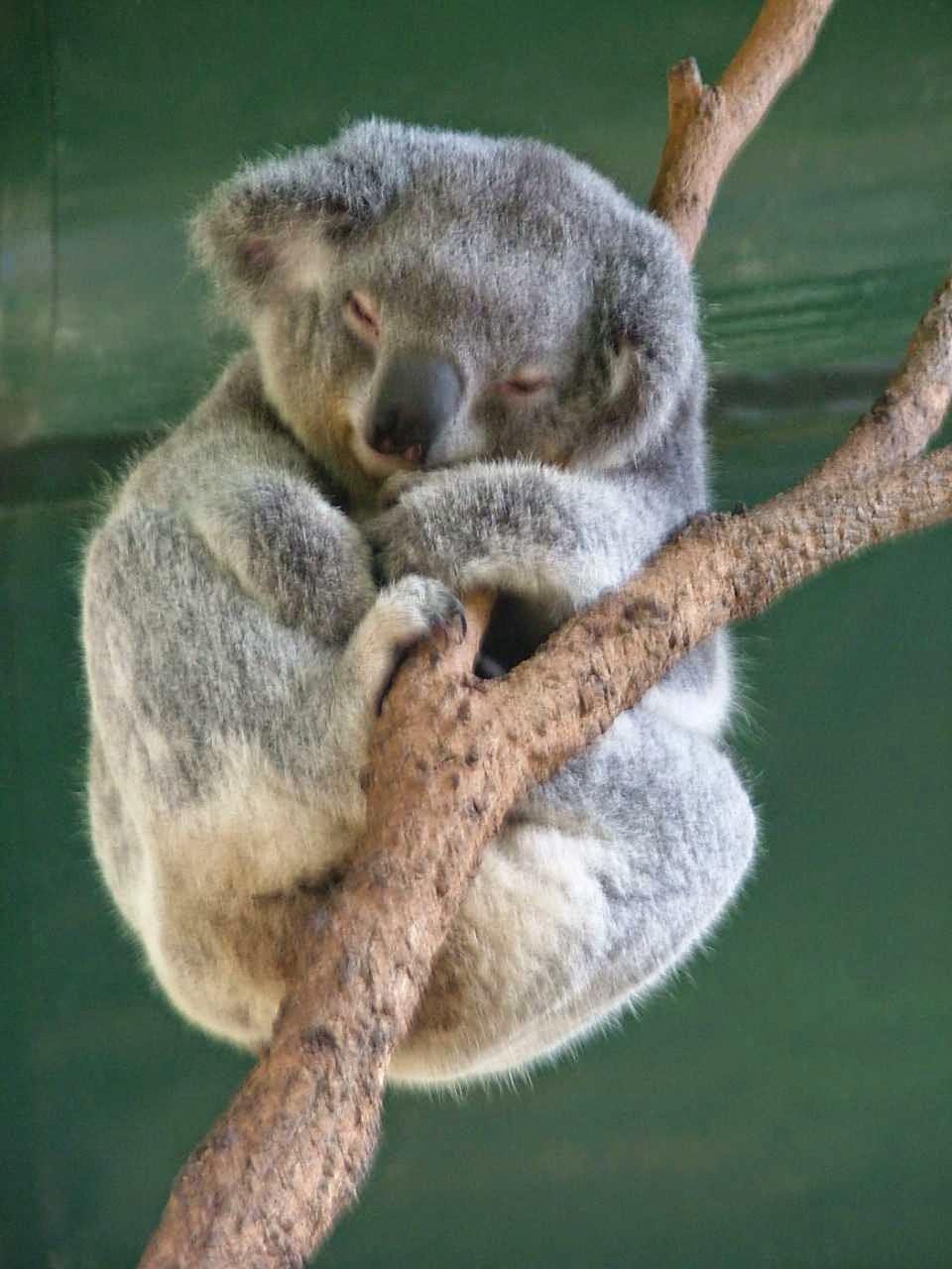 Koala durmiente