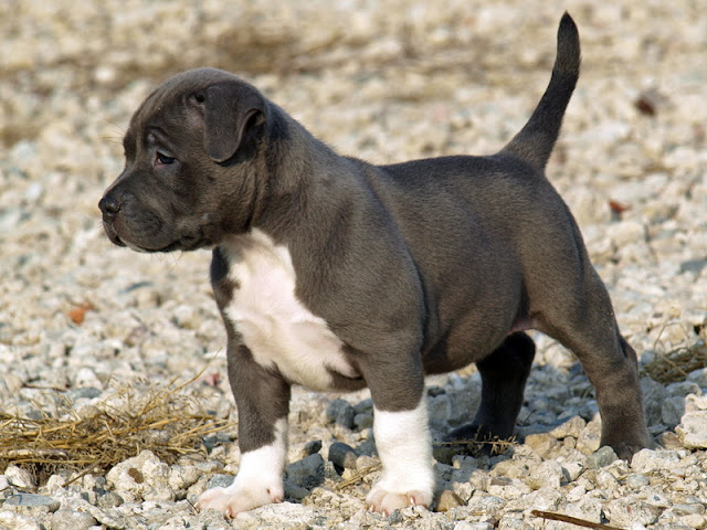 pit bull puppies photos