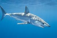 Shortfin Mako Shark - Isurus Oxyrinchus