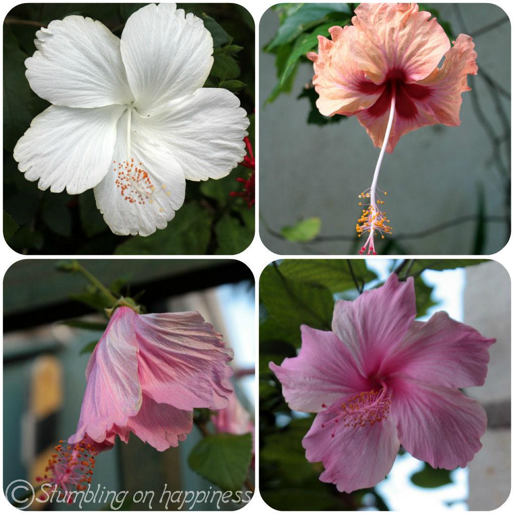 The expat files jamaica beautiful flowers hibiscus flowers izmirmasajfo Choice Image