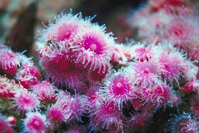 La magia de las piedras: EL CORAL Coral7