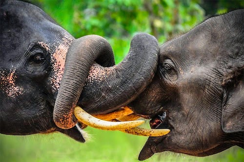fotos animais adoráveis fofos se beijando beijo romântico Elefantes