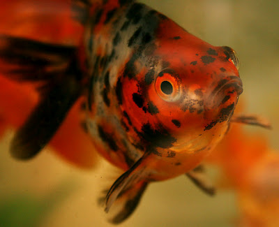 Goldfish Pictures | Images | Photos | Pics: Calico ...