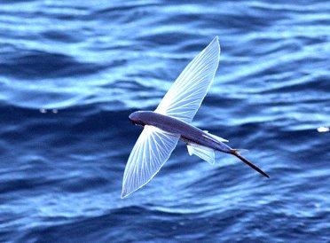 Peixe-voador - Exocoetus volitans