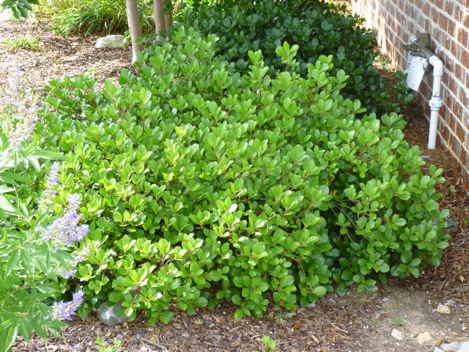 Image gallery shrubs zone 9 - Shrubbery for privacy ...