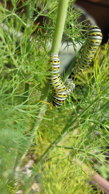 caterpillar showing it's horns