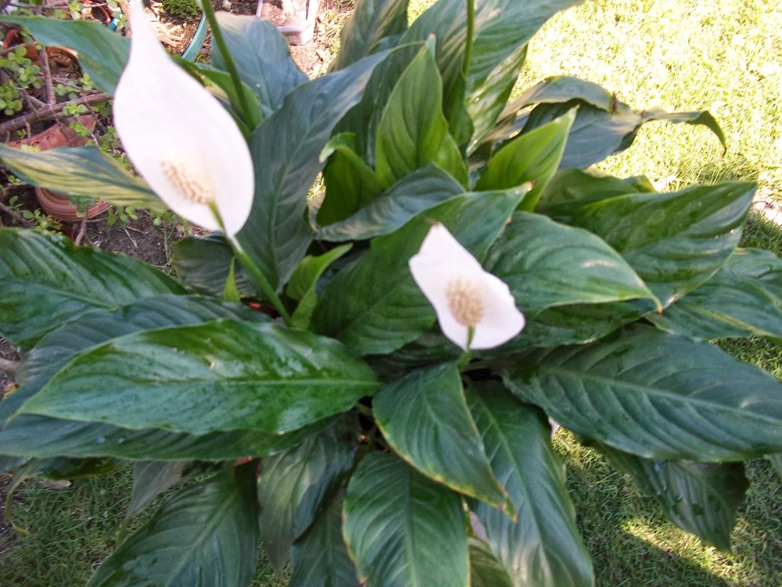 Octubre 2013 jardin de casa for Planta ornamental blanca nieves
