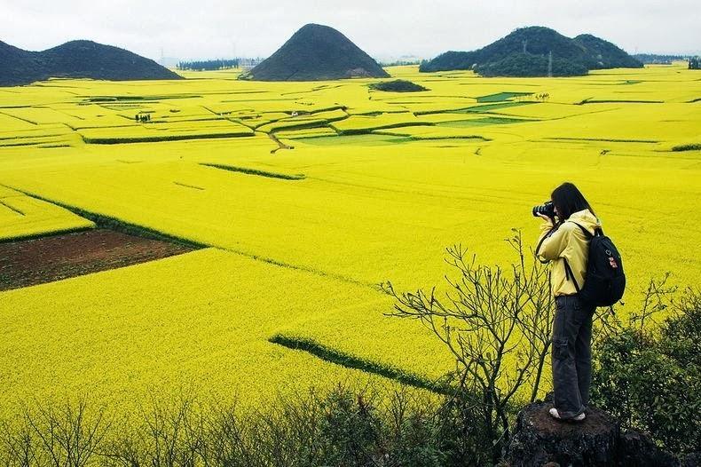 Mar de dorado de flores de canola en Luoping, China