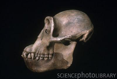 Dryopithecus skull