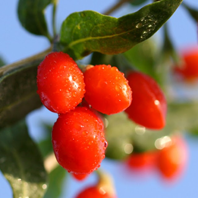 Extraordinary Benefits Of Goji Berries