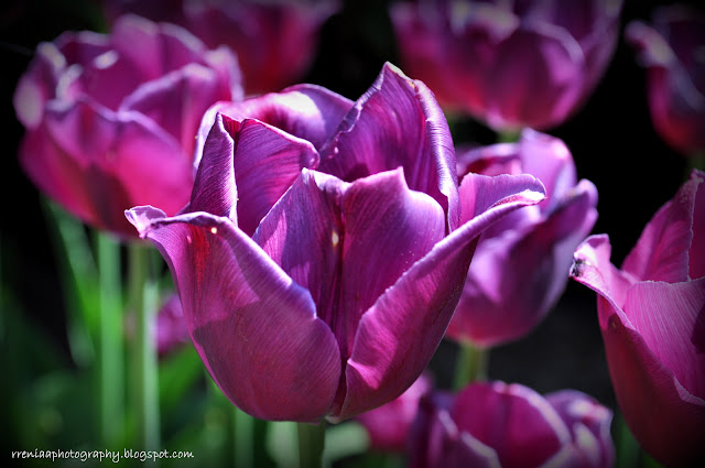 Tulipanowo