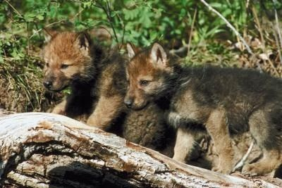Wolves As Pets Training Your Wolf Hybrid Puppy