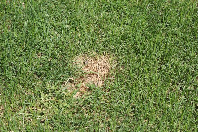 how to fix dog pee spots on lawn