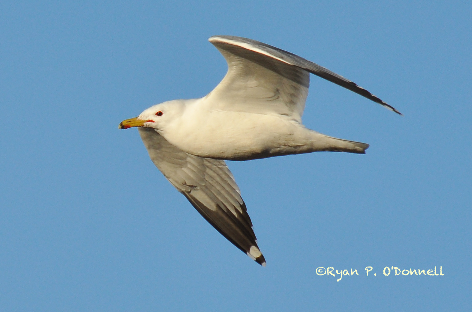 Gulls With A Red Ring Around Eye
