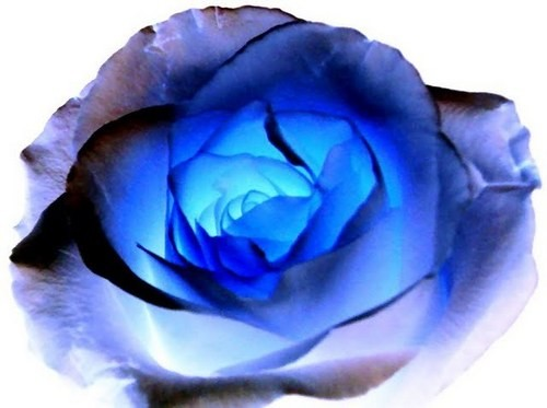 couple of blue roses - photo #18
