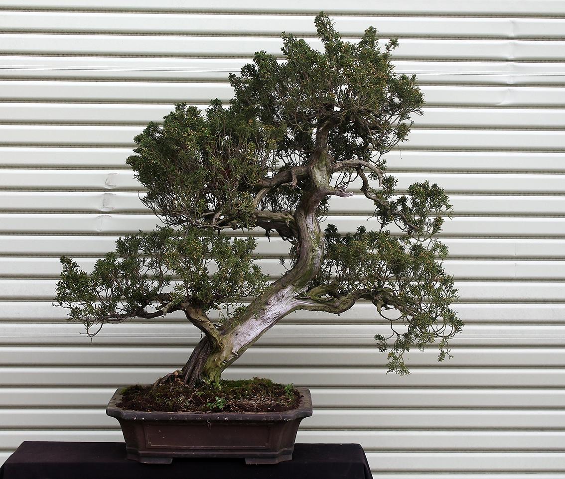 Little Cornish Trees My Best Bonsai Weekever