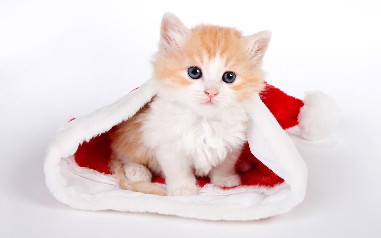 wallpaper kucing lucu dan imut foto kucing imut kucing lucu wallpaper
