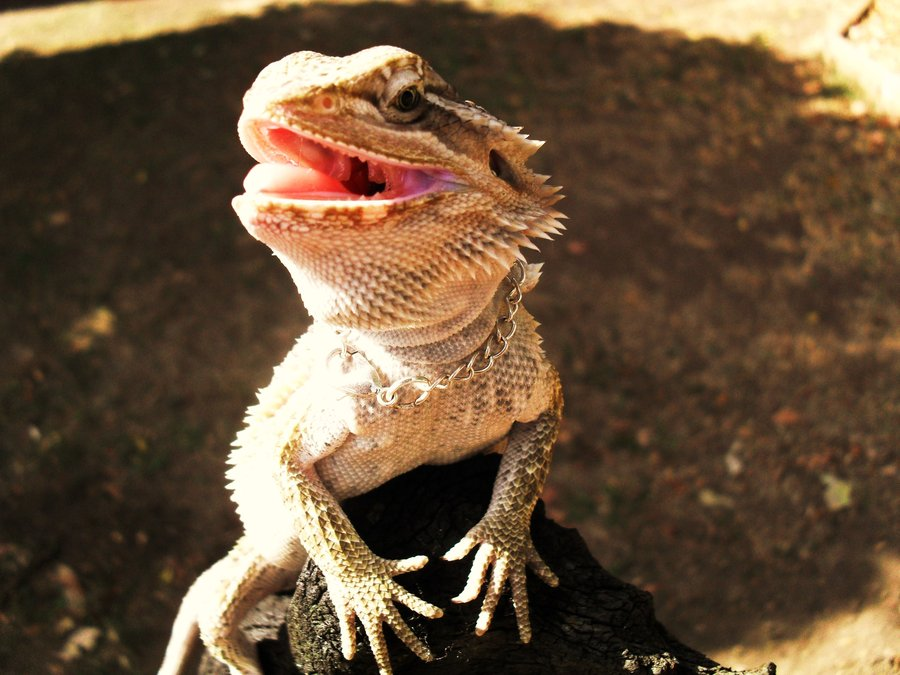 wallpaper db bearded dragon background