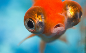 goldfish with buggy eyes