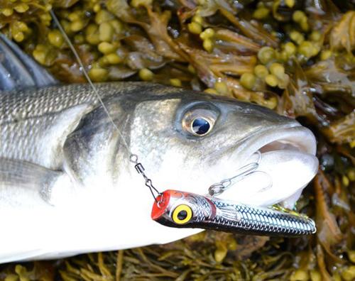 Shop news blog salt water lure fishing uk part ii for Big fish eat small fish